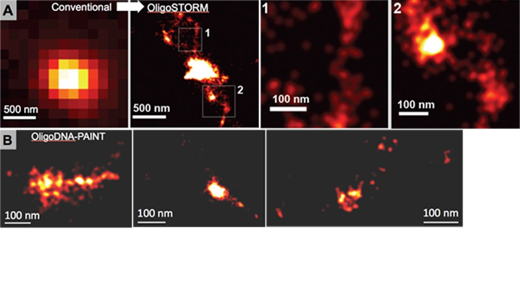 Super-resolution imaging of genomic loci labeled with OligoPaints